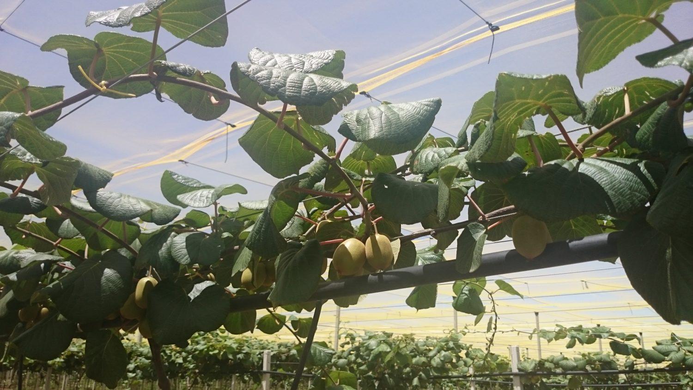 mercato italiano kiwi