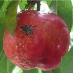 mela danneggiata dalla H.Halyse